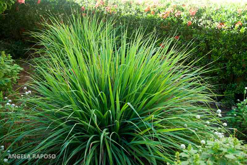 4+1 φυτά που απωθούν τα κουνούπια