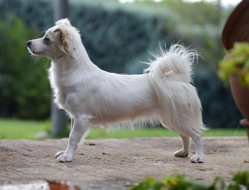Αλωπεκίς: Η ελληνική ράτσα σκύλου, ηλικίας… 5.000 ετών!