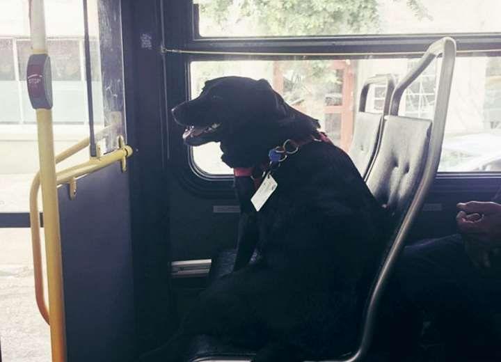 Αυτόνομη σκυλίτσα χρησιμοποιεί καθημερινά λεωφορείο