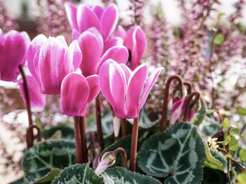 Λουλούδια, κυκλάμινο