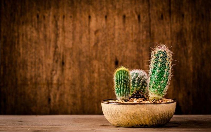 Κάκτοι: Τα παρεξηγημένα φυτά