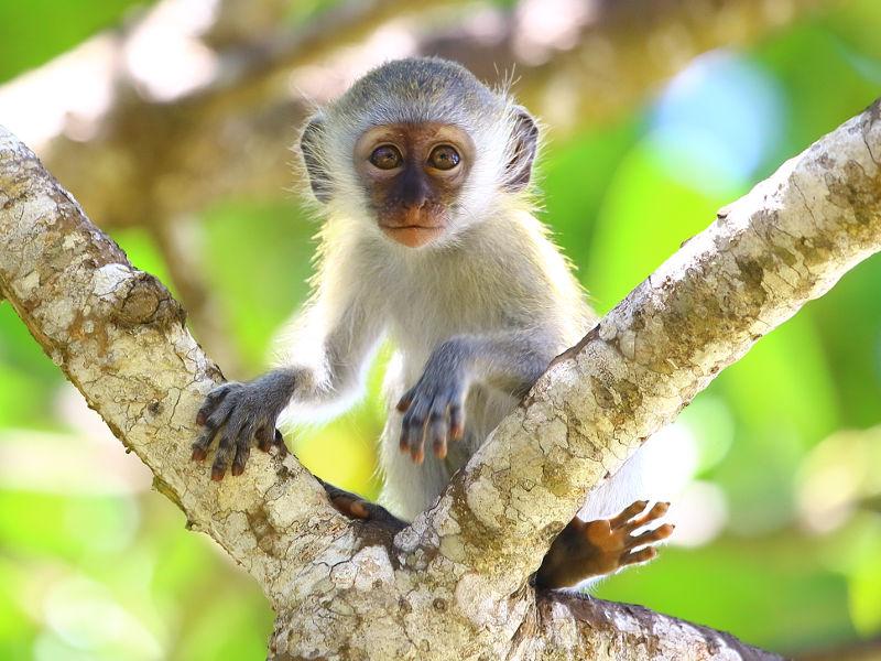 Μαϊμού κατοικίδιο, monkey baby