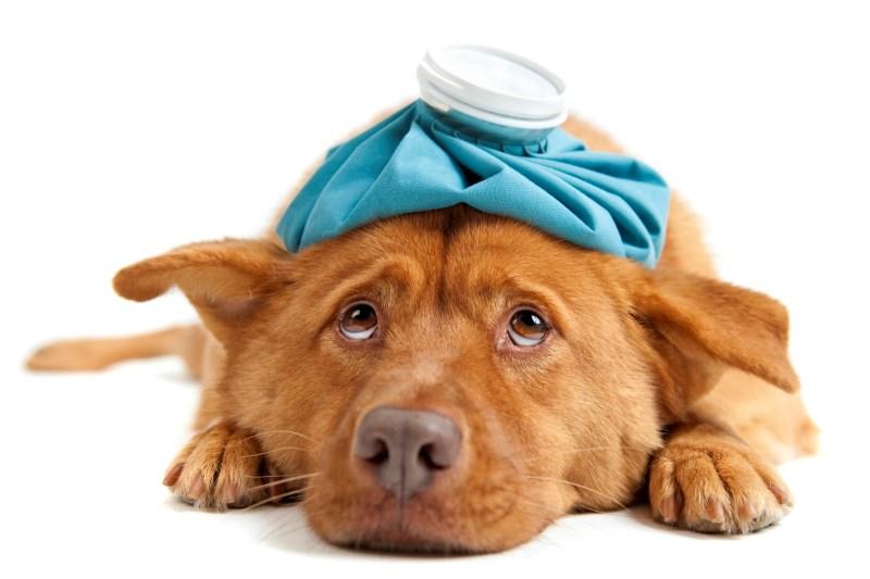 Προφυλάξτε τον σκύλο σας από τον ιό Η3Ν2 civ