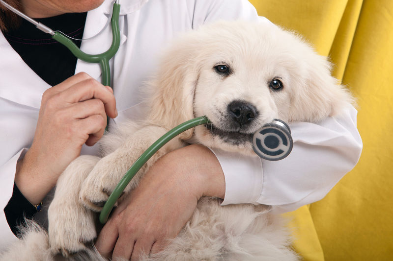 puppy in doctor