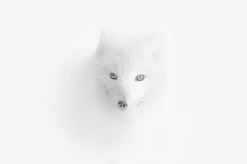 Vulpes lagopus - πολική αλεπού