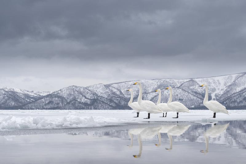 travel photographer 2020: Φύση άσπροι κύκνοι του voosten