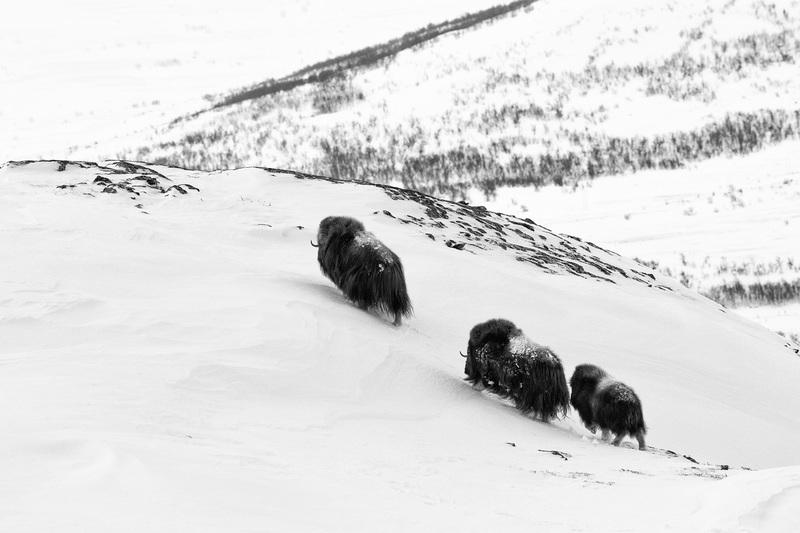 travel photographer 2020: Βουβάλια μέσα στο χιόνι του eshel